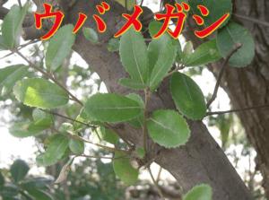 ウバメガシの木